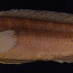 colecoes_cientificas-peixes-holotipos-crenicichla_minuano-mcp14321-01