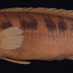 colecoes_cientificas-peixes-holotipos-crenicichla_tendybaguassu-mcp10876-01