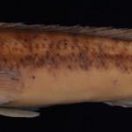 colecoes_cientificas-peixes-holotipos-crenicichla_tingui-mcp12606-01