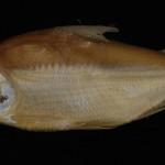 colecoes_cientificas-peixes-holotipos-curimata_acutirostris-mcp17396-01