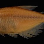 colecoes_cientificas-peixes-holotipos-cyanocharax_alegretensis-mcp25974-01