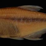 colecoes_cientificas-peixes-holotipos-cyanocharax_itaimbe-mcp25972-01