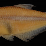 colecoes_cientificas-peixes-holotipos-cyanocharax_lepiclastus-mcp25751-01