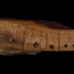 colecoes_cientificas-peixes-neotipos-phallotorynus_jucundus-mcp30467-01