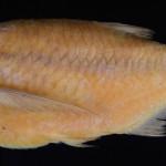 colecoes_cientificas-peixes-neotipos-triportheus_rotundatus-mcp34863-01