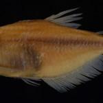 Cyanocharax macropinna