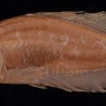 Cynolebias cyaneus MCP 10441
