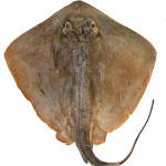 Dasyatis hypostigma MCP 35005