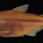 Deuterodon amniculus