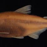 Deuterodon singularis