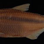 Deuterodon supparis