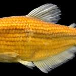 Hollandichthys taramandahy MCP 30000