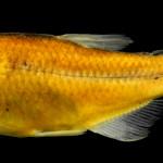 Hyphessobrycon hamatus MCP 34000