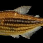 Hyphessobrycon hexastichos MCP 37648