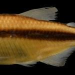 Hyphessobrycon melanostichos MCP 39510