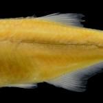 lepidocharax burnsi MCP 45718