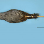 colecoes_cientificas-aves-holotipos-scytalopus_diamantinensis-mcp1896-01