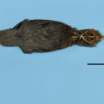 colecoes_cientificas-aves-holotipos-scytalopus_pachecoi-mcp1179-01