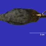 colecoes_cientificas-aves-paratipos-scytalopus_diamantinensis-b-01