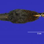 colecoes_cientificas-aves-paratipos-scytalopus_gonzagai-e-03