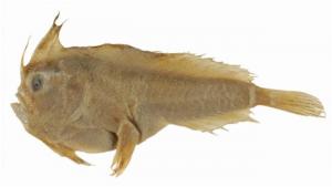 Exemplar de peixe Sympterichthys unipennis da Coleção de Peixes da Austrália. Fonte: Australian National Fish Collection, CSIRO Atlas of Linving Australia. https://fishesofaustralia.net.au/home/species/4324#summary