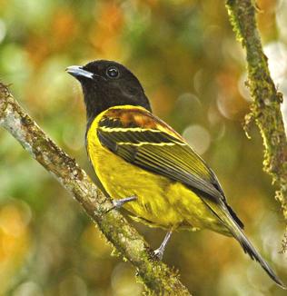Corocochó, Carpornis cucullata ave típica da floresta atlântica do Sul do Brasil. (Foto: Márcio Repenning).
